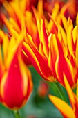 MORTON HALL, WORCESTERSHIRE: CLOSE UP PORTRAIT OF THE LILY FLOWERED TULIP - TULIPA FLY AWAY. SPRING, BULBS, TULIPS