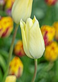MORTON HALL, WORCESTERSHIRE: CLOSE UP PORTRAIT OF THE CREAM, YELLOW FLOWERS OF TULIP - TULIPA FIRST PROUD . SPRING, BULBS, TULIPS