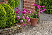 MORTON HALL, WORCESTERSHIRE: TULIPS IN TERRACOTTA CONTAINER, APRIL, SPRING, BORDERS, BULBS, GRAVEL. TULIPA PURPLE DREAM AND BLUE DIAMOND