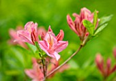 MORTON HALL, WORCESTERSHIRE: CLOSE UP PORTRAIT OF THE PINK FLOWERS OF AZALEA, SPRING, MAY, SHADE, SHADY, SHRUBS