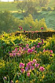 PETTIFERS, OXFORDSHIRE, DESIGNER GINA PRICE: MAY, SPRING, BORDERS, ALLIUM PURPLE SENSATION, TULIPA VIRIDIFLORA GROENLAND, GREENLAND, TULIPS