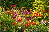 THTHE COACH HOUSE, SURREY, DESIGNER BARBARA BROOKS: LAWN, PATH, BORDERS WITH TULIPS, SPRING, GARDEN, TULIPA BALLERINA, HOLLYWOOD, NIGHTRIDER