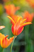 THE COACH HOUSE, SURREY, DESIGNER BARBARA BROOKS: CLOSE UP PORTRAIT OF ORANGE FLOWERS OF TULIP - TULIPA BALLERINA. BULBS, SPRING, FLOWERING, BLOOMS, BLOOMING