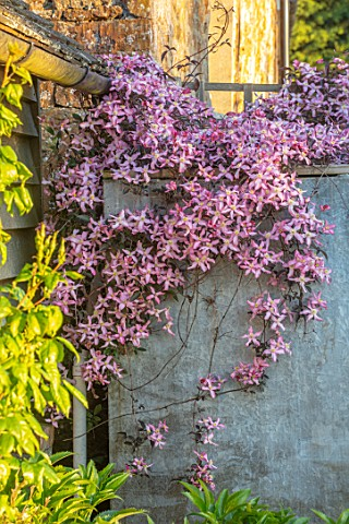 PETTIFERS_OXFORDSHIRE_PLANT_PORTRAIT_OF_PINK_FLOWERING_CLEMATIS_COVERING_OIL_TANK_SPRING