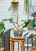 JAMIES JUNGLE, LONDON HOUSE OF JAMIE SONG: APARTMENT FILLED WITH HOUSEPLANTS. INDOORS, GREEN INTERIORS, PHILODENDRON SQUAMIFERUM IN CONTAINER