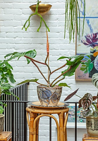 JAMIES_JUNGLE_LONDON_HOUSE_OF_JAMIE_SONG_APARTMENT_FILLED_WITH_HOUSEPLANTS_INDOORS_GREEN_INTERIORS_P