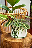 JAMIES JUNGLE, LONDON HOUSE OF JAMIE SONG: HOUSEPLANTS. INDOORS, GREEN INTERIORS, GREEN, FOLIAGE, LEAF, LEAVES OF MARANTA LEUCONEURA IN CONTAINER ON STAND