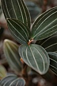 JAMIES JUNGLE, LONDON HOUSE OF JAMIE SONG: HOUSEPLANTS. INDOORS, GREEN INTERIORS, LUDISIA DISCOLOR, JEWEL ORCHID
