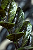 JAMIES JUNGLE, LONDON HOUSE OF JAMIE SONG: HOUSEPLANTS. INDOORS, GREEN INTERIORS, BLACK, GREEN LEAVES OF ZAMIOCULCAS ZAMIIFOLIA RAVEN