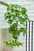 JAMIES JUNGLE, LONDON HOUSE OF JAMIE SONG: HOUSEPLANTS. INDOORS, GREEN INTERIORS, WHITE CONTAINER WITH GREEN LEAVES, FOLIAGE OF PILEA PEPEROMIOIDES, CHINESE MONEY PLANT