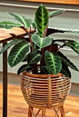 JAMIES JUNGLE, LONDON HOUSE OF JAMIE SONG: HOUSEPLANTS. INDOORS, GREEN INTERIORS,  LEAVES, FOLIAGE OF CALATHEA WARSCEWICZII