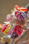 CLOSE UP PORTRAIT OF THE EMERGING NEW DARK RED LEAVES OF CERCIS CANADENSIS RUBY FALLS. FOLIAGE, LEAVES, SHRUBS, SPRING, REDBUD