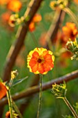 DESIGNER JAMES SCOTT, THE GARDEN COMPANY: CLOSE UP PLANT PORTRAIT OF GEUM TOTALLY TANGERINE, PERENNIALS, FLOWERS, PETALS, BLOOMS, SPRING, MAY, ORANGE