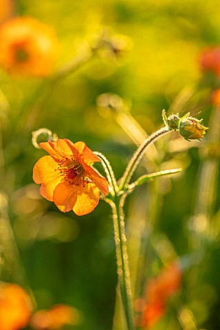 DESIGNER_JAMES_SCOTT_THE_GARDEN_COMPANY_CLOSE_UP_PLANT_PORTRAIT_OF_GEUM_TOTALLY_TANGERINE_PERENNIALS