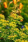 DESIGNER JAMES SCOTT, THE GARDEN COMPANY: CLOSE UP PLANT PORTRAIT OF EUPHORBIA POLYCHROMA, PERENNIALS, FLOWERS, PETALS, BLOOMS, SPRING, MAY, LIME GREEN, YELLOW, SPURGES