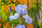 DESIGNER JAMES SCOTT, THE GARDEN COMPANY: CLOSE UP PLANT PORTRAIT OF THE BLUE FLOWERS OF IRIS JANE PHILLIPS. IRISES, TALL, BEARDED, IRISES