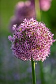 DESIGNER JAMES SCOTT, THE GARDEN COMPANY: CLOSE UP PLANT PORTRAIT OF THE PURPLE FLOWERS OF ALLIUM GLADIATOR. ALLIUMS, PURPLE, PINK, BLOOMS, BULBS