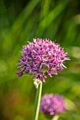 DESIGNER JAMES SCOTT, THE GARDEN COMPANY: CLOSE UP PLANT PORTRAIT OF THE PURPLE FLOWERS OF ALLIUM ATROPURPUREUM. ALLIUMS, PURPLE, PINK, BLOOMS, BULBS