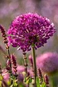 DESIGNER JAMES SCOTT, THE GARDEN COMPANY: CLOSE UP PLANT PORTRAIT OF THE PURPLE FLOWERS OF ALLIUM PURPLE SENSATION. ALLIUMS, PURPLE, PINK, BLOOMS, BULBS