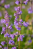 DESIGNER JAMES SCOTT, THE GARDEN COMPANY: CLOSE UP PLANT PORTRAIT OF THE FLOWERS OF NEPETA WALKERS LOW. PURPLE, BLUE, BLOOMS, PERENNIALS