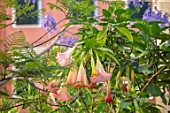 CORFU, GREECE -  CORFU TOWN - DATURA AND JACARANDA