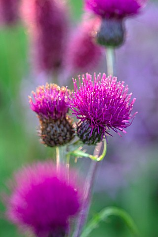 PETRA_HOYER_MILLAR_GARDEN_OXFORDSHIRE_CASTLE_END_HOUSE_PLANT_PORTRAIT_OF_CIRSIUM_RIVULARE_TREVORS_BL