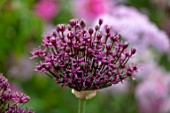 PETRA HOYER MILLAR GARDEN, OXFORDSHIRE: CASTLE END HOUSE. PLANT PORTRAIT OF PINK, PURPLE FLOWERS OF ALLIUM ATROPURPUREUM, ALLIUMS, BULBS, FLOWERING, BLOOMING