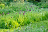 THE OLD VICARAGE, WORMLEIGHTON, WARWICKSHIRE: DESIGNER ANGEL COLLINS - MEADOW WITH ALLIUM PURPLE SENSATION IN GRASS