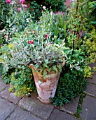 RHUBARB FORCING POT CONTAINING TEUCRIUM FRUTICANS  PURPLE & GOLDEN SALVIA STANDS AT BORDER EDGE. DESIGNER: SUE BERGER