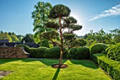 WINSON MANOR, GLOUCESTERSHIRE: LAWN, CLIPPED TOPIARY YEW HEDGES, HEDGING, CLOUD PRUNED SCOTS PINE - PINUS SYLVESTRIS, TREES, SUMMER, GREEN, GARDENS
