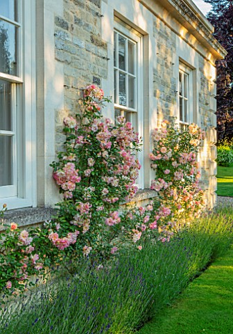 WINSON_MANOR_GLOUCESTERSHIRE_LAVENDER_AND_ROSES__ROSA_PHYLLIS_BIDE_AGAINST_WALL_FRAGRANT_SCENTED_RAM