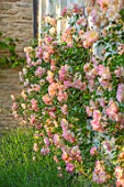 WINSON MANOR, GLOUCESTERSHIRE: LAVENDER AND ROSES - ROSA PHYLLIS BIDE, AGAINST WALL, FRAGRANT, SCENTED, RAMBLING, CLIMBING, SHRUBS, SUMMER, PINK