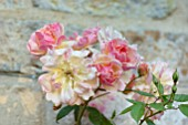 WINSON MANOR, GLOUCESTERSHIRE: CLOSE UP OF PINK FLOWERS OF ROSE - ROSA PHYLLIS BIDE, FRAGRANT, SCENTED, RAMBLING, CLIMBING, SHRUBS, SUMMER, FLOWERING, BLOOMS