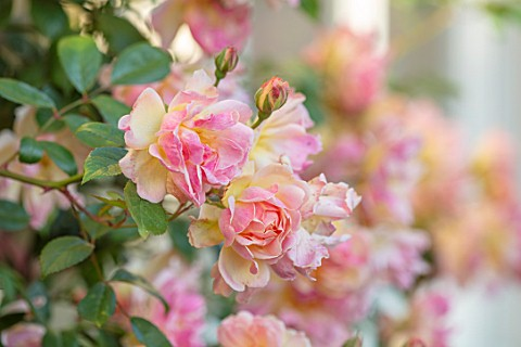 WINSON_MANOR_GLOUCESTERSHIRE_CLOSE_UP_OF_PINK_FLOWERS_OF_ROSE__ROSA_PHYLLIS_BIDE_FRAGRANT_SCENTED_RA