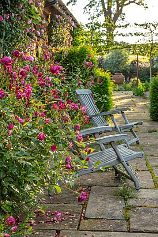MANOR_FARM_CHESHIRE_THE_LONG_TERRACE__ROSES__ROSA_BURGUNDY_ICE_WOODEN_SEATS_PLEACHED_HAWTHORNS_IN_BA