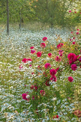 ROCKCLIFFE_GARDEN_GLOUCESTERSHIRE_WILDFLOWER_MEADOW_WITH_OXE_EYE_DAISIES_LEUCANTHEMUM_VULGARE_RED_RO
