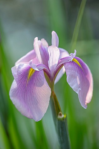 MORTON_HALL_WORCESTERSHIRE_THE_STROLL_GARDEN_IN_JULY_CLOSE_UP_PORTRAIT_OF_IRIS_ENSATA_ROSE_QUEEN_WAT