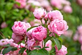 MORTON HALL, WORCESTERSHIRE: ROSES - PINK FLOWERS, BLOOMS OF ROSA COMTESSE DE SEGUR. SUMMER, BLOOMS, BLOOMING, FRAGRANT, SCENTED