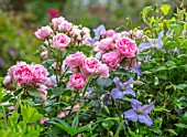 MORTON HALL, WORCESTERSHIRE: ROSES - PINK FLOWERS, BLOOMS OF ROSA COMTESSE DE SEGUR, CLEMATIS EMILIA PLATER. SUMMER, BLOOMS, BLOOMING, FRAGRANT, SCENTED, CLIMBERS