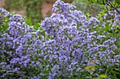 MORTON HALL, WORCESTERSHIRE:BLUE FLOWERS OF CAMPANULA LACTIFLORA PRITCHARDS VARIETY. PERENNIALS, BELLFLOWER, BLOOMS, BLOOMING, PETALS