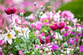 ROCKCLIFFE GARDEN, GLOUCESTERSHIRE: CLOSE UP PORTRAIT OF WHITE, PINK FLOWERS OF LILIUM REGALE AND DARK PINK FLOWERS OF POPPIES, BULBS, SUMMER, BLOOMS