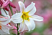 ROCKCLIFFE GARDEN, GLOUCESTERSHIRE: CLOSE UP PORTRAIT OF WHITE, PINK FLOWERS OF LILIUM REGALE, BULBS, SUMMER, BLOOMS