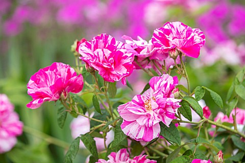 ROCKCLIFFE_GARDEN_GLOUCESTERSHIRECLOSE_UP_OF_PINK_WHITE_FLOWERS_OF_ROSES__ROSA_MUNDI_SYN_ROSA_GALLIC