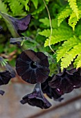 DESIGNER ANGEL COLLINS - CONTAINER PLANTING OF BLACK FLOWERS OF PETUNIA BLACK CAT AND GYMNOCARPUM DRYOPTERIS