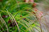 DESIGNER ANGEL COLLINS: CLOSE UP OF FLOWERS OF ANEMANTHELE LESSONIANA, STIPA ARUNDINACEA, GRASSES, FLOWERING, BLOOMING