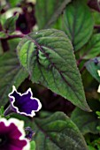 DESIGNER ANGELA COLLINS - GREEN LEAF OF AGERATUM CORYMBOSUM. FOLIAGE, ANNUALS, PERENNIALS, BUTTERFLY MIST