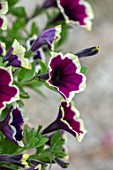 DESIGNER ANGELA COLLINS - CLOSE UP OF MAGENTA, YELLOW, CREAM FLOWERS OF PETUNIA CASCADIA RIM MAGENTA, ANNUALS, FLOWERING, BLOOMS, BLOOMING