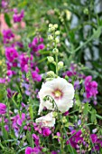 THATCH COTTAGE, WORCESTERSHIRE: PINK SWEET PEAS AND HOLLYHOCKS