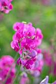 THATCH COTTAGE, WORCESTERSHIRE: PINK SWEET PEAS