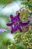 THATCH COTTAGE, WORCESTERSHIRE: CLOSE UP PORTRIAT OF PURPLE FLOWERS OF CLEMATIS NIGHT VEIL. SHRUBS, CLIMBERS, CLIMBING